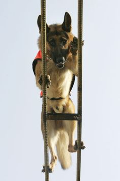 Training - Don't look down, boy! #germanshepherds #dogs