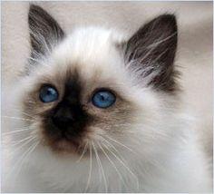 I want a Birman multicolored cat and her name will be Ms.Kitty