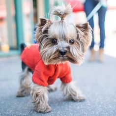 Kobe, Yorkshire Terrier (5 y/o), Perry & 7th Ave, New York, NY https://instagram.com/p/2EtyJGtOdu/?taken-by=thedogist