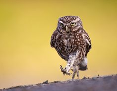1X - A Little Owl out for an evening stroll by Austin Thomas