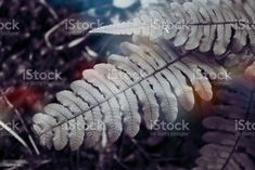 Blechnum Discolor or Piupiu Fern Fronds in a Minimalist Monochrome Style Nature Background of Native New Zealand Blechnum Discolor also known as a Crown Fern or by it's maori name Piupiu Fern Fronds in a Minimalist Monochrome or Duotone Look for a Modern Style. Abstract Stock Photo Fern Frond, Photo Composition, Monochrome Fashion, Abstract Images, Photo Illustration, Image Now, Ferns, Royalty Free Images, Fashion Photo