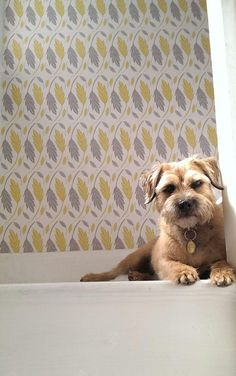 """""""Daisy my border terrier is probably my best """"asset""""! Nice Dogs, I Love Dogs, Puppy Love, Border Terrier, Terrier Breeds, Terrier Dogs, Best Dog Breeds, Best Dogs, Doggies"""