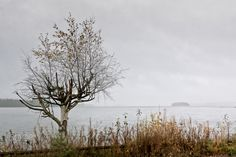 Birch Tree And An Island - The autumn weather has left the birch tree almost without any leaves by a lake in the Central Finland. You can see a distant island in the lake through the rain.