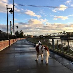Big Dog Carries Little Dog Everywhere They Go - The Dodo Little Dogs, Big Dogs, Small Dogs, Funny Dogs, Funny Animals, Cute Animals, Crazy Cat Lady, Crazy Cats, Japanese Chin