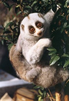 Interesting new facts about the rainforest are discovered every day and one of the more peculiar rainforest animals, the slow loris, is all about being interesting. Description from caretoclick.com. I searched for this on bing.com/images