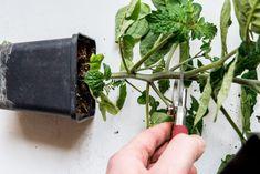 Balcony Plants, Balcony Garden, Garden Plants, Organic Gardening, Gardening Tips, Sloped Garden, Indoor Flowers, Tomato Garden, Growing Plants