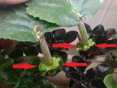 Как вырастить фиалку из листика. Укоренение и размножение сенполии. - YouTube