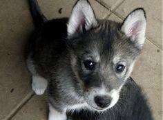 siberian husky puppy <3