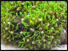 Saltwater Aquarium Corals for Marine Reef Aquariums:Green Star Polyps Coral   Reefs2go.com