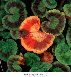 Zonal Pelargonium Stock Photos & Zonal Pelargonium Stock Images ...