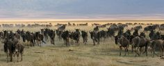 """See 195 photos and 21 tips from 787 visitors to Serengeti National Park. """"Hello friends Dont wait to witness The Wildebeest migration hotspot in Ndutu. Tall Ship Cruises, Blue Wildebeest, Badass Pictures, Serengeti National Park, Out Of Africa, Kilimanjaro, Game Reserve, African Safari, Amazing Adventures"""