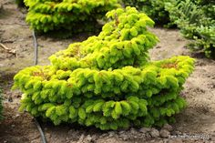 Abies nordmanniana 'Golden Spreader' - Conifer Kingdom