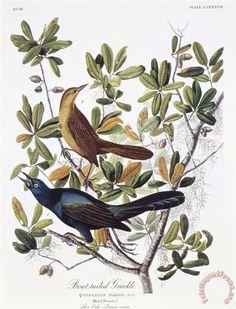 John James Audubon Boat Tailed Grackle Male And Female painting - Boat Tailed Grackle Male And Female print for sale