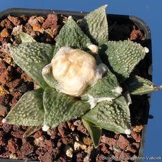 Ariocarpus hybrid retusus x fissuratus