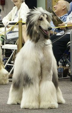 Scent-of-Fame Afghan Hounds Afghan Hound Puppy, Kitten Love, Beautiful Dogs, Dog Grooming, Animal Drawings, Loki, Poodle, Dog Breeds, Cat Lovers