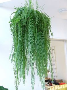 Keeping indoor plants alive can be intimidating.But hard-to-kill hanging plants can help make it less scary to keep beautiful indoor plants in your home. Hands down, any plant you add to just about any place adds natural life, color, and personality. Indoor Ferns, Best Indoor Plants, Outdoor Plants, Indoor Outdoor, Porch Plants, Indoor Plant Decor, Indoor Plants Clean Air, Indoor Planters, Indoor Gardening
