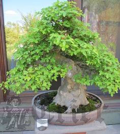 A Trident Maple bonsai, part of a special exhibit at Tower Hill.  Photo by Paige Impink
