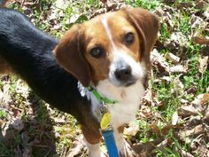 Operation Paws for Homes |  Oh Suzy Q this Beagle will love you, Suzie Q