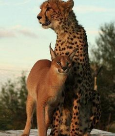 caracal & cheetah...nice