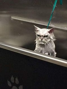 This funny cat puts Grumpy Cat to shame! Hilarious Cat Memes - funny cats - pic of the day Angry Animals, Animals And Pets, Baby Animals, Funny Animals, Cute Animals, Meme Chat, Cat Memes, Funny Memes, Funniest Memes