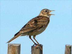 Bird songs are among the most complex sounds produced by animals and the skylark is one of the most complex of all. The songs are composed of 'syllables', consecutive sounds produced in a complex way, with almost no repetition. The male skylark can sing more than 300 different syllables, and each individual bird's song is slightly different.
