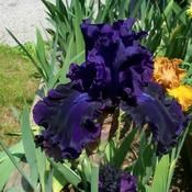 Iris 'Magnificent Masterpiece'