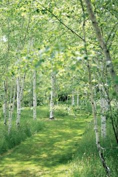 A lush path through the birch wood.