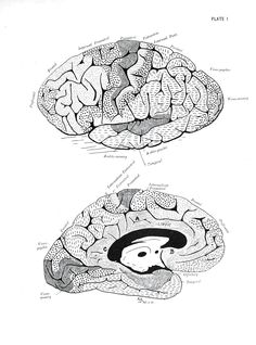 Drawing of the brain and pineal gland from a physiology