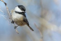 Learn all you wanted to know about black-capped chickadees with facts, pictures, videos, and news from National Geographic.