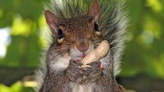 Squirrel Eating Nuts wallpaper - 551112
