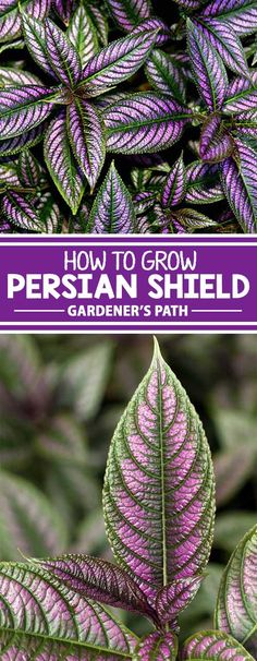 Are you looking for an exotic new plant for the house or garden that's a cut above the rest? Consider Persian shield, a unique tropical variety with amazing, iridescent purple leaves. Learn all about this exceptional indoor/outdoor tropical plant, right h Outdoor Plants, Garden Plants, Outdoor Gardens, Indoor Outdoor, Indoor Palms, Greenhouse Plants, Front Gardens, Modern Gardens, Shade Garden