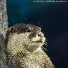 Nonchalant otter leans against a tree - July 17, 2012