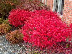 "Dwarf-winged Burning Bush (Euonymus alatus 'Compactus'). Zones 4-8; Full sun to part shade. ""A deciduous shrub which typically grows in a mound to 10' tall w/a slightly larger spread, though it can be kept shorter by pruning. Features elliptic dark green leaves (to 3"" long) which turn bright red in fall (sometimes more pinkish in shade). Small, yellowish-green flowers appear in May but are not showy. Small fruits (1/3"" red capsules) appear in fall, but are usually hidden by the foliage."""