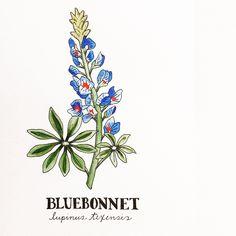 Allie McRae Design   Bluebonnet Illustration