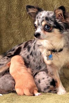 dog care,dog grooming tips,dog ideas,dog nail trimming,dog ear cleaner Merle Chihuahua, Chihuahua Love, Dog Grooming Tips, Dog Grooming Business, Poodle Grooming, Boxer Mix Puppies, Cute Puppies, Happy Animals, Cute Animals