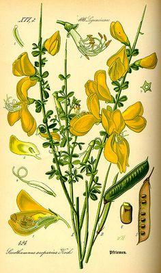 File:Illustration Cytisus scoparius0.jpg