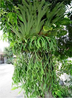 How to pot & care for a Stag-horn Fern