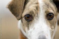Hungarian Greyhound.