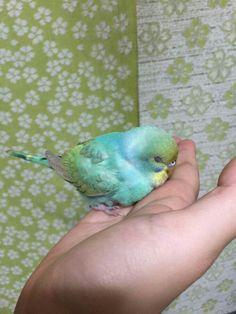 A beautiful tame 'Rainbow' Budgie. Cute Birds, Pretty Birds, Beautiful Birds, Animals Beautiful, Budgie Parakeet, Budgies, Parrots, Cute Creatures, Beautiful Creatures