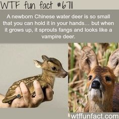 Baby Chinese water deer is cute. Adult Chinese water deer is not-so-cute Wtf Fun Facts, Funny Facts, Funny Memes, Random Facts, Crazy Facts, Strange Facts, Hilarious, Fun Funny, Cat Memes