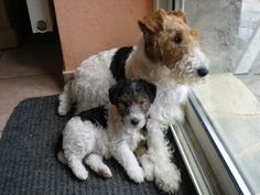 Fox Terriers, Chien Fox Terrier, Wirehaired Fox Terrier, Welsh Terrier, Terrier Breeds, Wire Fox Terrier, Wire Haired Terrier, Dog Suit, Dog Pictures