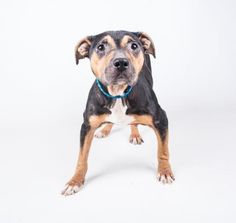 Krystal - URGENT - Dekalb County Animal Shelter in Decatur, Georgia - ADOPT OR FOSTER - 7 year old Female Rottweiler Mix - When you sit down with Krystal, she instantly melts into your lap. This girl has a love for people like no other. She was an absolute dream for her nail trim. She just relaxed and enjoyed her pedicure. If you are looking for a laid back cuddle bug, Krystal is your girl.