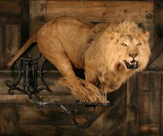 Advanced Taxidermy - African Lion. Check out some of our work. If you don't see what you're looking for in our galleries, don't fret. Give us a call. If you've got a photo. We can replicate it.