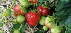 Cultiver les fraisiers au jardin : choisir la bonne variété, les planter, les cultiver, les entretenir et les multiplier. Découvrez nos conseils !