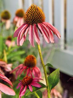 The Best Drought-Tolerant Perennials Purple Coneflower It's hard not to love purple coneflower. This resilient perennial blooms much of the summer producing tons of mauve-purple blooms that hold up really well when cut. Or, if you leave them in the garden Sun Garden, Garden Plants, House Plants, Shade Garden, Flowers Perennials, Planting Flowers, Prairie Planting, Drought Resistant Plants, Cactus