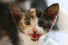 Diluted Calico kitten