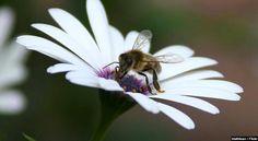 O Propólis não é bom apenas para a as abelhas!!!