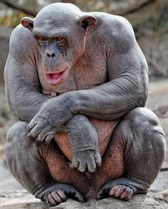 A Chimpanzee will Fuck. Their muscle density is several times more than ours so a 100 pound chimp is stronger than a 300 pound body builder. Animals And Pets, Funny Animals, Cute Animals, Exotic Animals, Beautiful Creatures, Animals Beautiful, Hairless Animals, Los Primates, Photo Animaliere