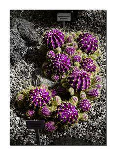 Cactus Púrpura. Gimnocalycum gibosa. Esta combinación de colores del cactus con el contraste del gris es un himno a la alegría en la naturaleza.