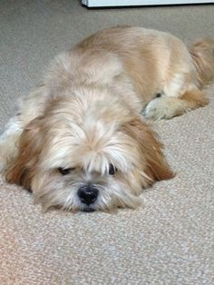 was once a cat person but I have been converted by someone looking a bit like this. Well how could you resist the lure of a lhasa apso.just gorgeous! Shorkie Dogs, Lhasa Apso Puppies, Boxer Puppies, Cute Puppies, Cute Dogs, Dogs And Puppies, Boxer Mix, Bichon Frise, Doggies
